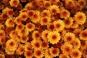 chrysanthemum-1013083_1280